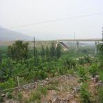 地径5、6公分麻核桃树苗